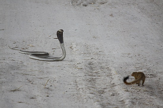 Gender Equality Leads To  Snake  And Mongoose Relationship!