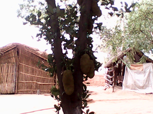 Kathal ( Jackfruit) Inside The Fort :-)
