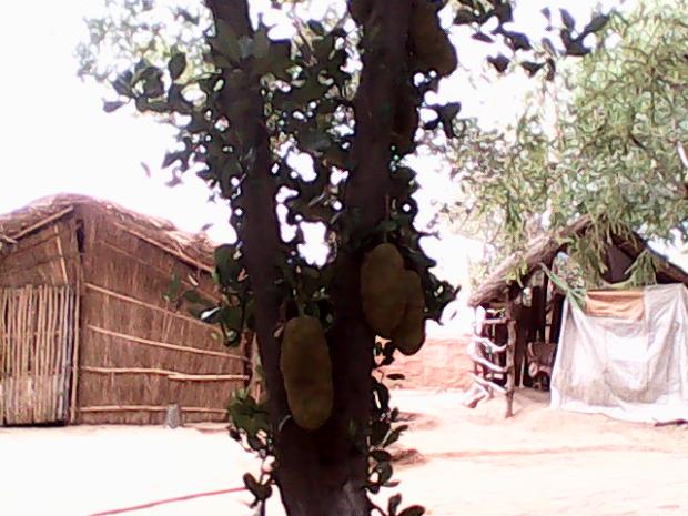 Kathal ( Jackfruit) Inside The Fort :-)
