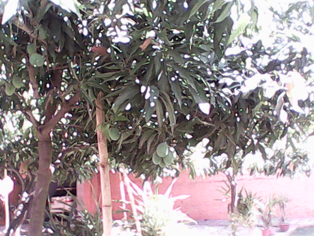 Almost All The Mango Trees Inside The Fort Tempted Me!