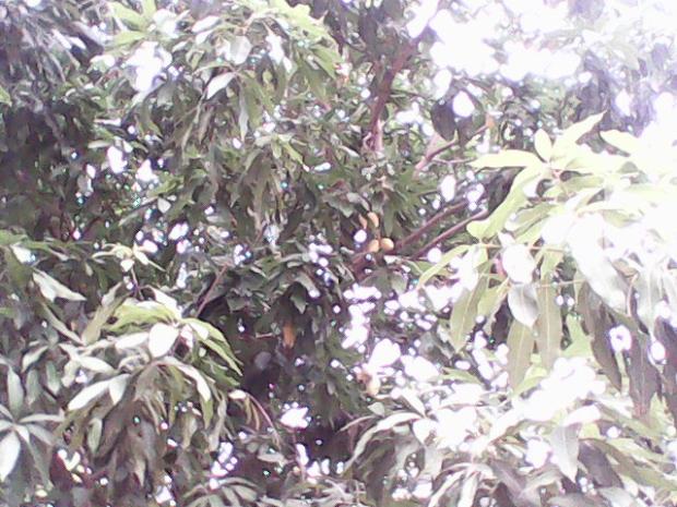 Mangoes Ripened..Yum..Yum :P