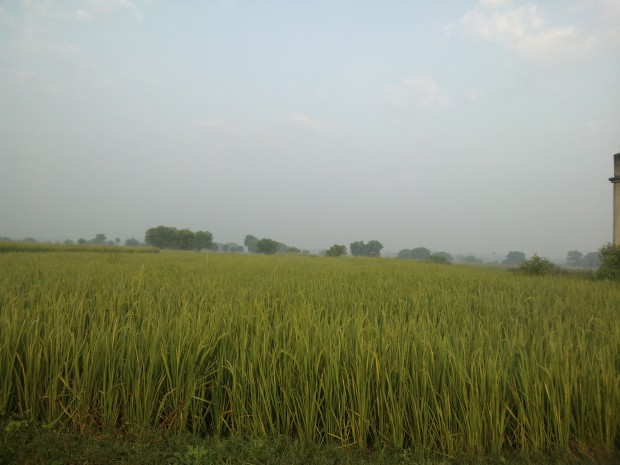 Rice Fields That Belong To Me :P