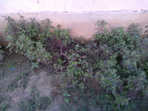 My mother planted just one small plant of  Tulsiji..However, I notice it has spread everywhere :-)