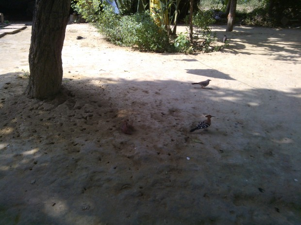 "It's never easy to click the image of birds..You  have to chase them for hours :P :P ...This one is called "" Kathphodva :P"" in my village :P"