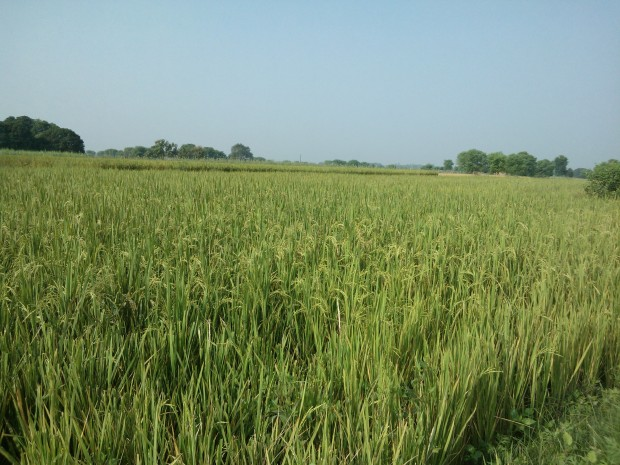 My Rice Fields :-) :-) :-)