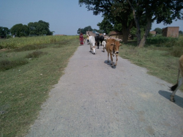 That's the most common scene you notice on village roads...Love Cows..Love their owners- the gwalas...However, what I hate is that they mix so much water in milk that when I prepare tea I do not feel the need to add water :P