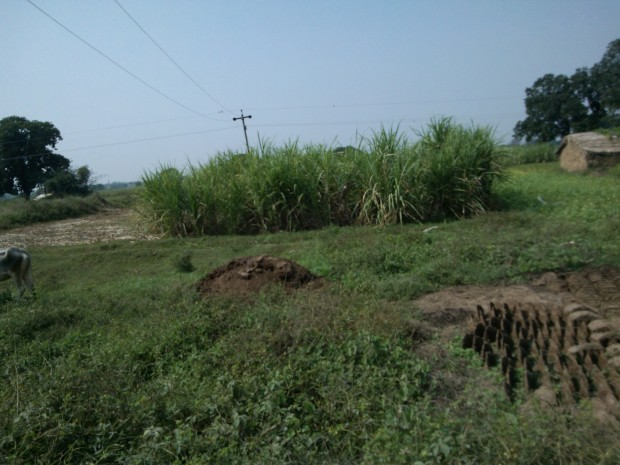 In my childhood sugarcane farming was popular in my village..Now very few farmers grow it in my village...Found this field having sugarcane crop :-)