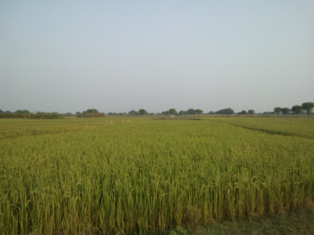 When I Will Come Back Next Time Rice Crop  Would Be Ready To Be Harvested !