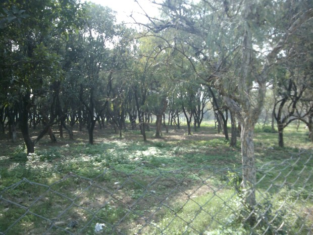 Besides Guava trees  a large number of mango trees are found here!