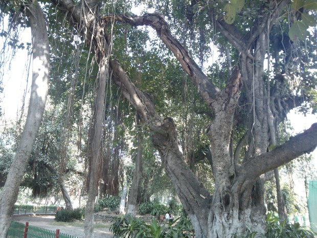 Very old Banayan Trees inside Khusro Bagh...If you sit under them you are bound to engage in deep meditation :P