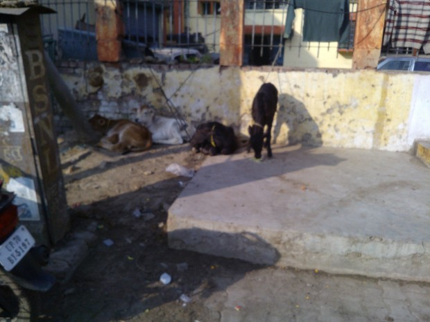 And I also came to notice these very beautiful calves in Daraganj area :P :P :P