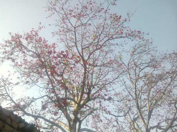 That's called Cotton Tree (Bombax ceiba). In India it's called Semal.