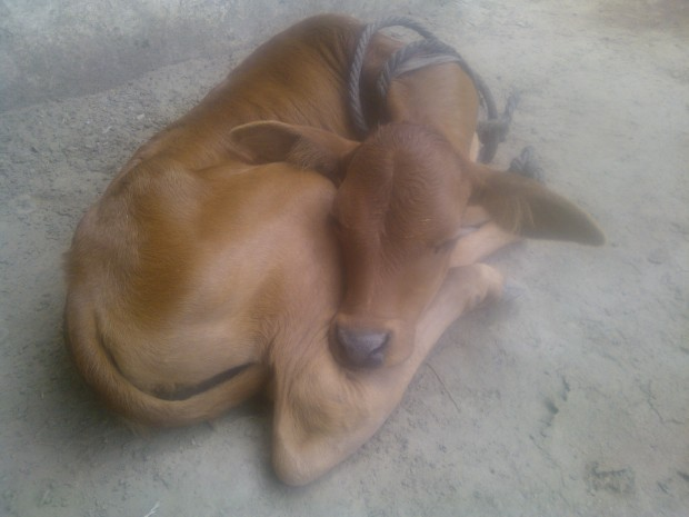 The Same Calf In Sleeping Mode...