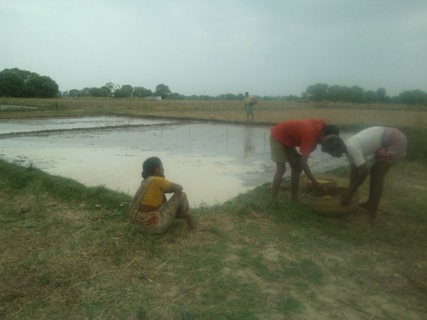 Rice Cultivation Is In Process On My Fields....