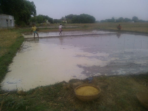 Rice Cultivation....