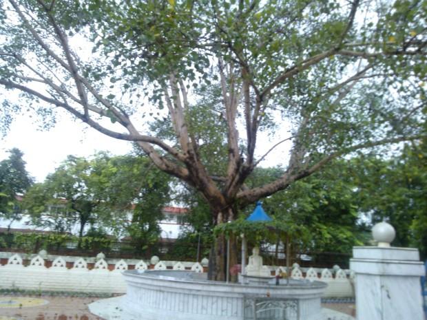 A Huge Peepal Tree Inside Japan-Shri Lankan Temple In Kushinagar!
